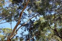 Combien de koalas voyez-vous ici ?